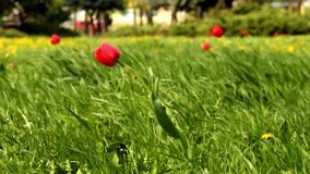 Windy day tulip. In the park stock footage