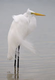 Windy egret Stock Image