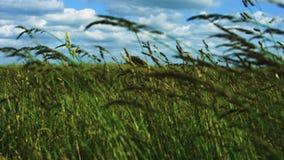 Windy field stock video