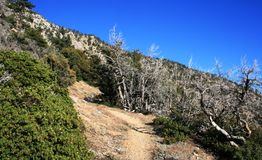 Windy Gap Trail. Trees on a hillside, San Gabriel Mountains, California Royalty Free Stock Images