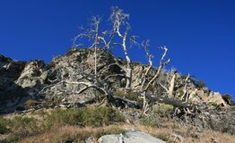 Windy Gap Trees. Dead trees on a mountain side, San Gabriel Mountains, California Stock Image