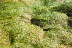 Windy grass Royalty Free Stock Photos