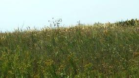 Windy meadow stock video