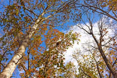 Windy morning among tall deciduous trees in late fall. Stock Photography