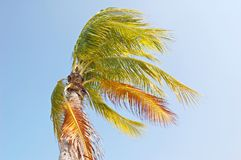 Windy palm Royalty Free Stock Photography