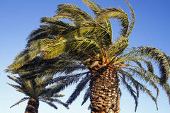 Windy palm tree Royalty Free Stock Photos