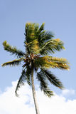 Windy Palm Tree. A lone palm tree bends gracefully against the wind Royalty Free Stock Photography