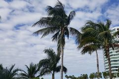 Windy Palm Trees Fotografia Stock Libera da Diritti