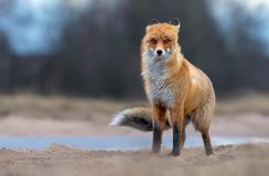 Windy Red Fox stands on sand road in heavy wind and weather conditions stock photo