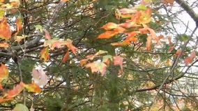 Windy, red, orange & yellow colorful tree leaves stock video