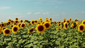Windy sunflowers stock video footage