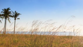 Windy Thin High Grass Palms on Beach Blue Sky Azure Sea. Panorama of thin high grass and palms on beach against blue sky and azure sea windy stock video footage