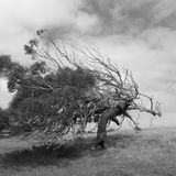 Windy Tree royalty free stock image