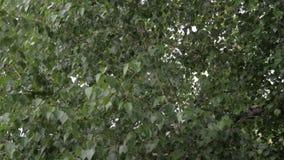 Windy tree leaves, 50fps, 4K, HQ stock video footage
