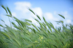 Windy uncultivated barley fields Royalty Free Stock Image