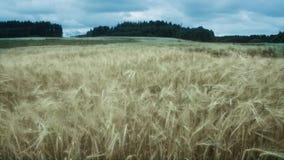 Windy wheat field stock footage