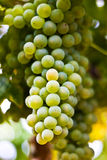 Wine. A bunch of green winegrapes Stock Image