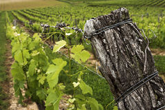Wine. View on a French vineyard near the Garonne river Stock Photography