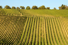 Wine agriculture in Rhine-Hesse Royalty Free Stock Images