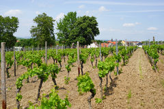 Wine agriculture in rhine-hesse in Springtime, Germany Royalty Free Stock Photos