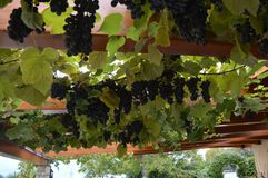 Wine as roof in a restaurant. Beautiful wine plant as roof on a restaurant in Montevaldo Royalty Free Stock Image