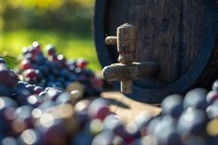 Wine barrel with blue Cabernet Franc grapes in harvest season. Vintage wine barrel with blue Cabernet Franc grapes on the wooden table in the harvest season royalty free stock image