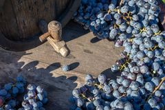 Wine barrel with blue Cabernet Franc grapes in harvest season. Vintage wine barrel with blue Cabernet Franc grapes on the wooden table in the harvest season royalty free stock photography