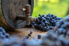 Wine barrel with blue Cabernet Franc grapes in harvest season. Vintage wine barrel with blue Cabernet Franc grapes on the wooden table in the harvest season stock photos