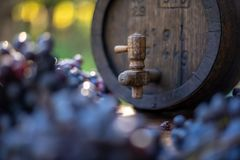 Wine barrel with blue Cabernet Franc grapes in harvest season. Vintage wine barrel with blue Cabernet Franc grapes on the wooden table in the harvest season stock photo