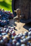 Wine barrel with blue Cabernet Franc grapes in harvest season. Vintage wine barrel with blue Cabernet Franc grapes on the wooden table in the harvest season stock images