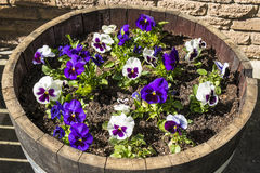 Wine Barrel Filled with Pansies Stock Images