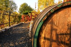 Wine barrel. Old wooden wine barrel in the vineyard, barrel in the autumn vineyard royalty free stock images