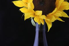 Wine Bottle with Sunflower. Bottle of wine with sunflower and dark background royalty free stock image