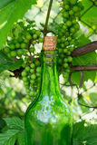 Wine bottle and young grapes on nature background Stock Images