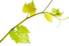 Wine branch Stock Photo