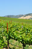Wine Country. View of Grape Vineyard in Napa Valley, California Royalty Free Stock Image