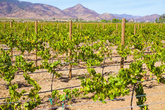 Wine Country, Baja, Ensenada, Mexico Royalty Free Stock Photos