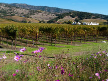 Wine country inNapa Valley. Vineyard in Napa Valley with white  building and wild flowers Royalty Free Stock Photos