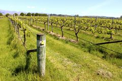 Wine country nelson vineyard grape vine New Zealand Stock Image