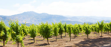 Wine country. Panorama of vineyards in napa valley, california Stock Photos