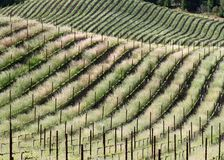 Wine Country Spring Rolls. New spring growth transcribes curves on rolling vineyard hills. Sonoma County, California, USA royalty free stock image