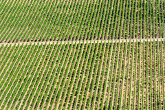Wine crops. Pattern of wine crops at a vineyard at Colchagua valley, Chile Stock Photos