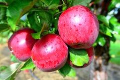 Wine Crsip Apples Closeup Stock Photography
