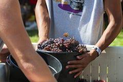 Wine Crush Harvest Festival in Carlton Oregon. Carlton, Oregon,USA - September 12, 2015:Carlton Oregon`s annual Crush Harvest Festival where the Crush Crew fills stock photo