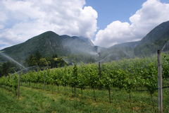 Wine-cultivation in South Tyrol (Italy) Royalty Free Stock Photos