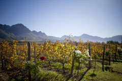 Wine estate landscape with mountains. Blue mountains and vineyards with roses on a scenic wine estate landscape Royalty Free Stock Photos
