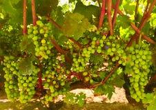 wine för Kalifornien central kustdruvor Royaltyfri Fotografi