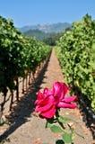 wine för rader två för slutdruvor rose Arkivbilder
