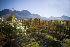 Wine farm landscape with mountains and vineyards Royalty Free Stock Photo