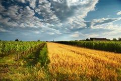 Wine field Stock Image